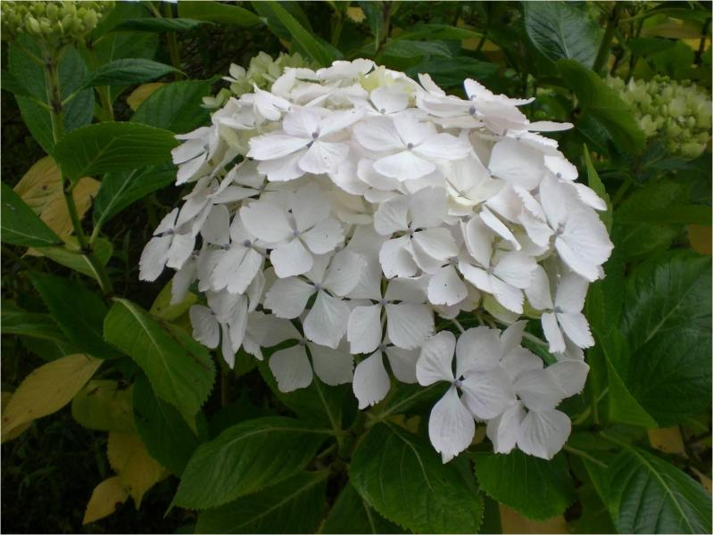 Hydrangea macrophylla miyake temari michael potel